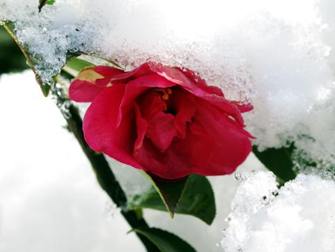 雪の中に咲くバラ